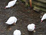Продаются белые индо утки